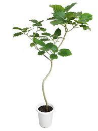 ウンベラータの植木